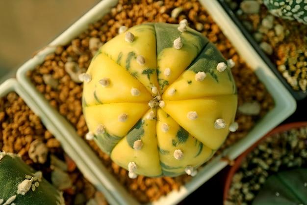 Яркие желто-зеленые шары в форме прекрасных суккулентов в горшке