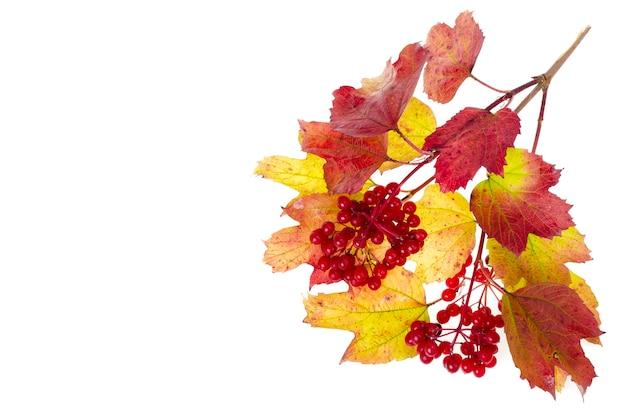 赤黄色のガマズミ属の紅葉。