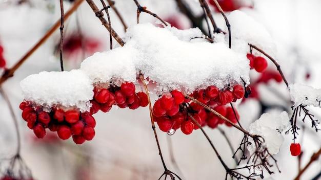 冬の茂みに雪に覆われたガマズミ属の木の果実
