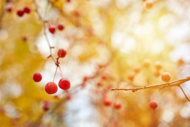 Калина ягод на ветках