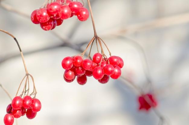 Viburnum berries outdoor. branch of viburnum