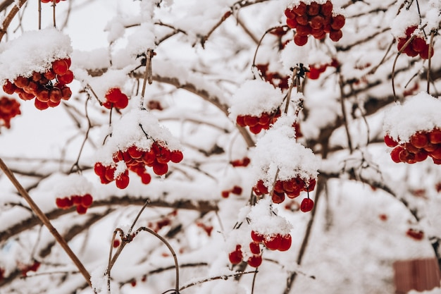 Viburnum berries in winter on a cloudy day the mature berries of rowan covered with snow selective f...