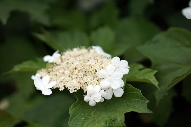 ガマズミ属の木に咲く花のブランチ