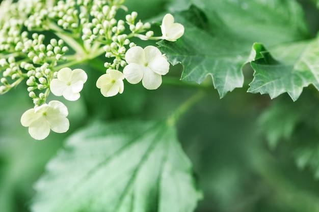 春の木にガマズミ属の木の花