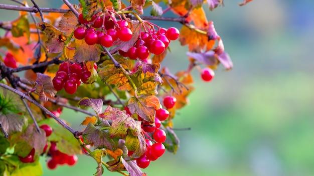 ぼやけた秋の背景に赤い果実とガマズミ属の枝