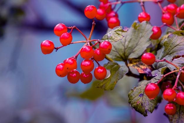 ぼやけた青い秋の背景に赤い果実とガマズミ属の枝