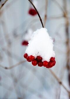 ガマズミ属の木は雪の下で枝分かれします。雪がちりばめられた赤いガマズミの束