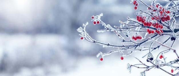 霜で覆われた赤いベリーと枝を持つガマズミ属の木の茂み。冬のクリスマスの背景、パノラマ