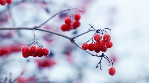서리 덮인 붉은 열매와 가지가 있는 가막살나무 숲