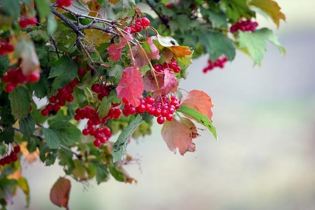 赤いベリーと色とりどりの紅葉のガマズミ属の茂み