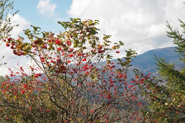 흐린 된 하늘에 붉은 열매 뭉치와 가막살 나무속 부시