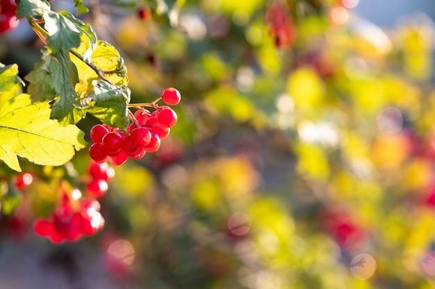 晴天時の赤いベリーとガマズミ属の茂み