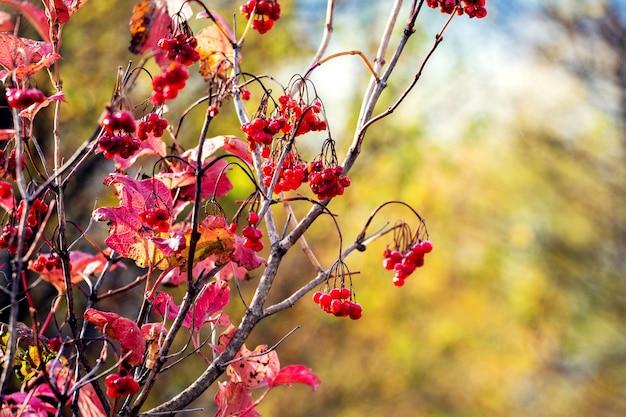 秋の晴れた日に背景をぼかした写真に赤い果実を持つガマズミ属の木の茂み
