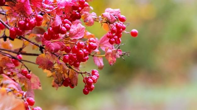背景をぼかした写真に赤い果実を持つガマズミ属の木の茂み