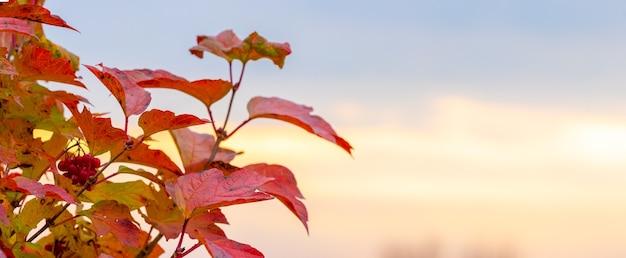 Куст калины с красными листьями на фоне неба во время заката