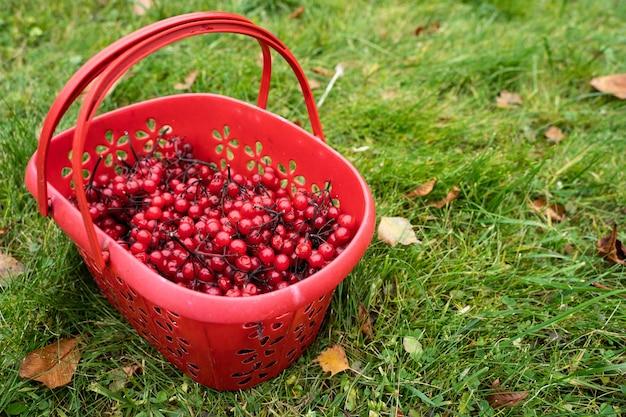 緑の草の上のバスケットのガマズミ属の木。秋のベリー摘み。