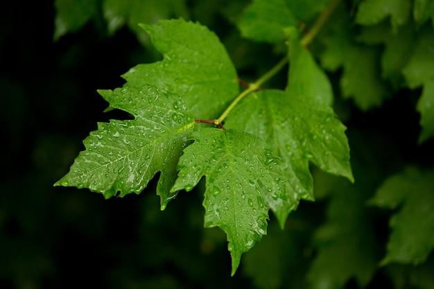 ガマズミ属の木は雨の中で一滴の葉