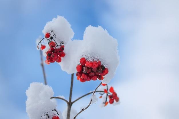 야외에서 눈에 붉은 익은 열매와 가막살 나무속 식물 분기.