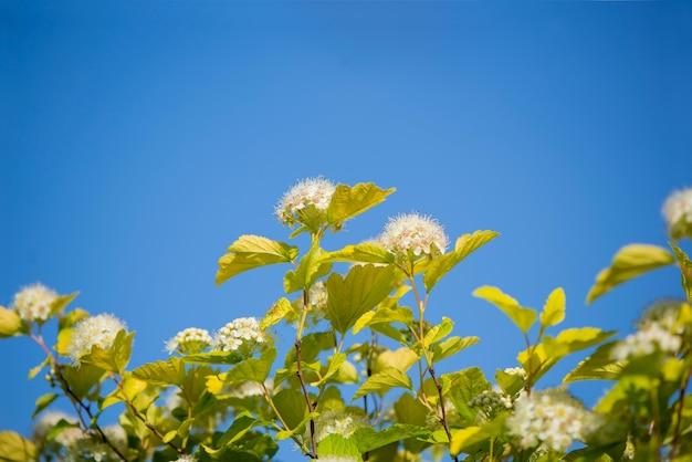 Viburnum snowball、viburnum carlesiiは、球形の成長形態と白い球形の花を持つ低木です