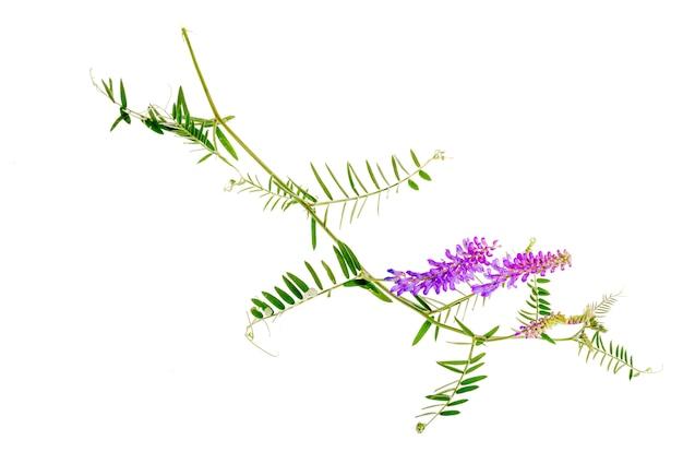 薬用植物vicia cracca