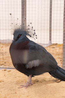 Victoria crowned pigeon in farm