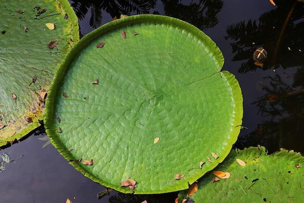 沼地のビクトリア蓮