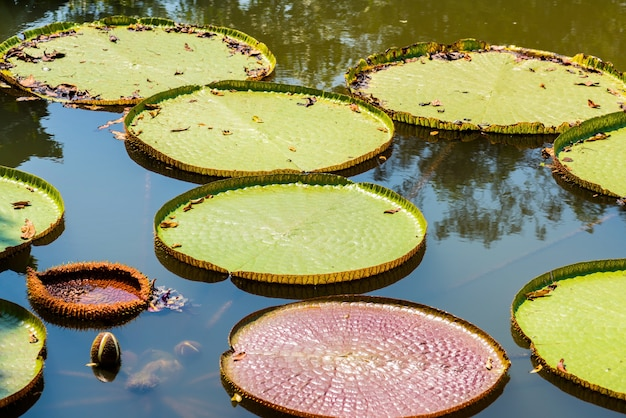 Victoria regia - the largest water