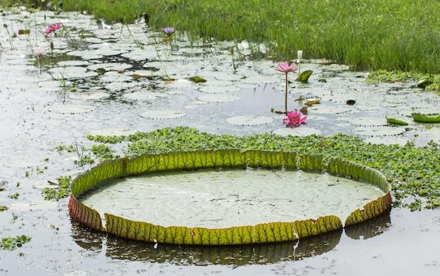 ビクトリアスイレン蓮の花またはスイレンの花が池に咲く