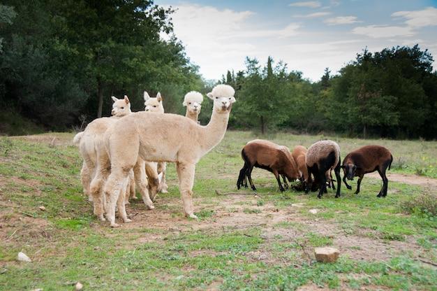 Прекрасный vicugna животных верблюды baby cria