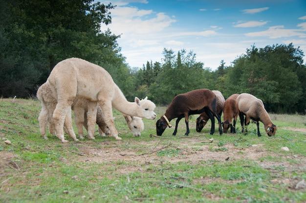 Красивые разведенные одомашненные животные vicugna domesticaed