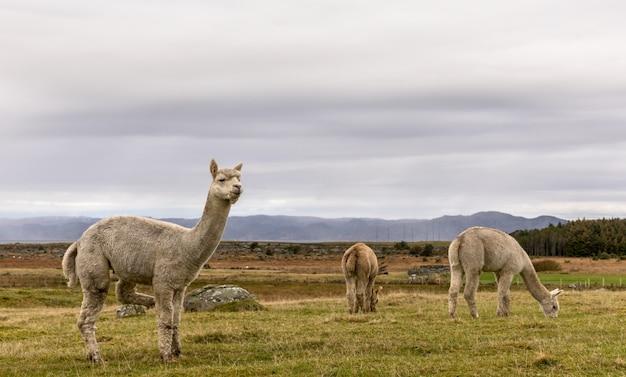 Альпаки, vicugna pacos, в красивом ландшафте lista, норвегия.