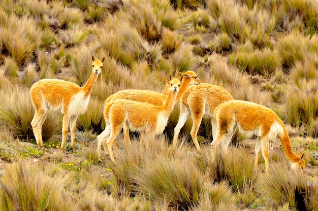 Vicuñas in the high altitude, south america