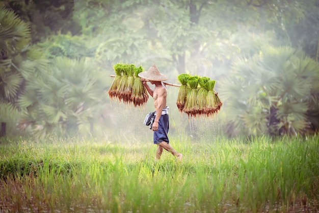 Vietnam farmer bearing seedlings of rice to plant.