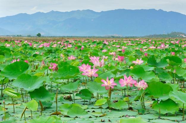 ベトナムの花蓮の花が水にピンクグリーンの葉で咲く