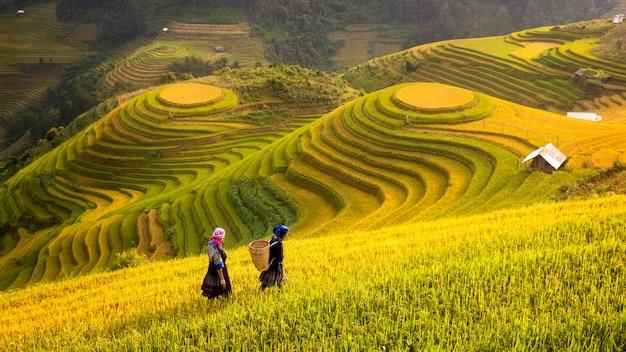 Вьетнам. рисовые поля готовят урожай на северо-западе вьетнама