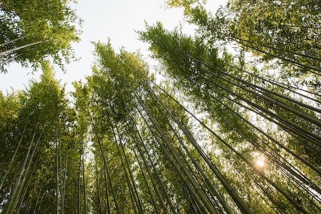Vietnamese bamboo woods high trees