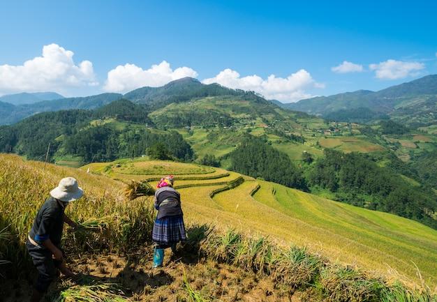 Vietnamese farmers are harvesting in sapa vietnam.