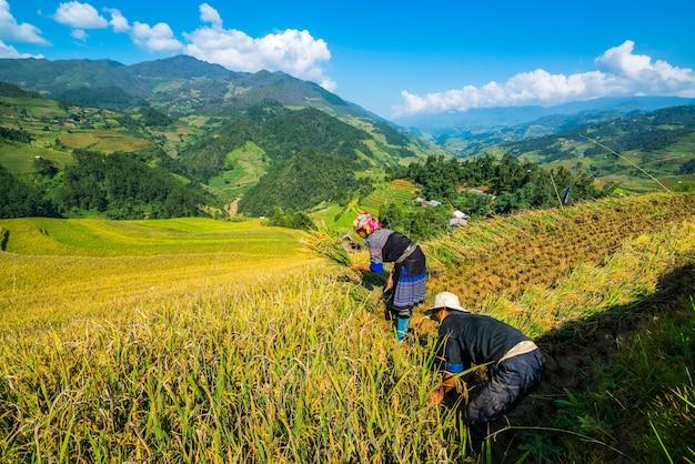 Vietnamese farmers are harvesting in sapa, vietnam.