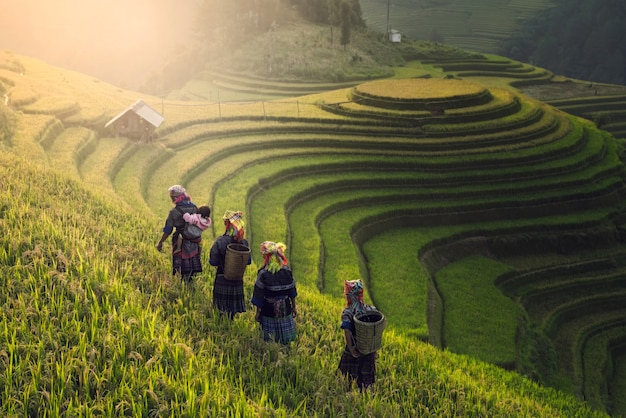 Vietnamese farmers walking over rice paddy field on sunset