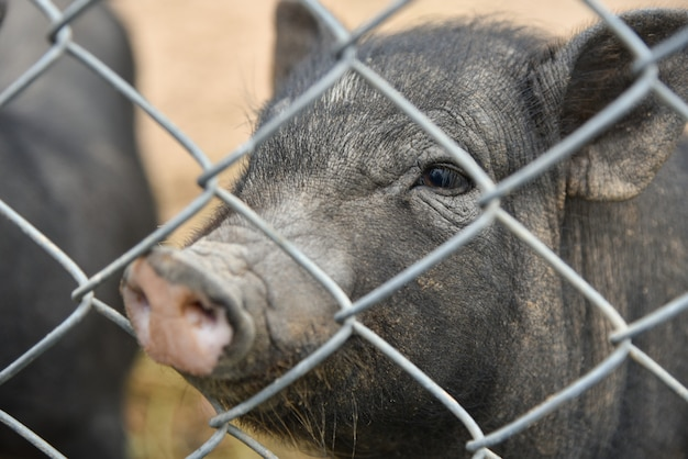 Vietnamese pig in a cage at the zoo