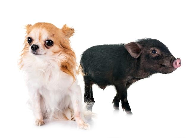 Vietnamese pig and chihuahua