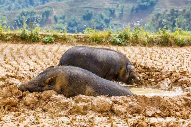 泥の中のベトナム豚