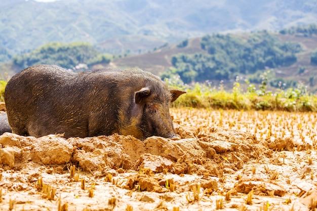 Вьетнамская свинья в грязи