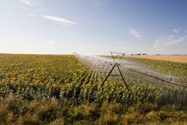 View of a active irrigation system watering a sunflower field.