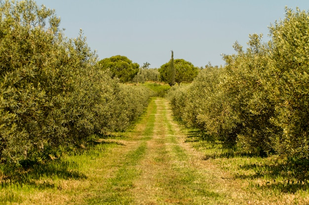 View of a agriculture plantation of olive trees in portugal.
