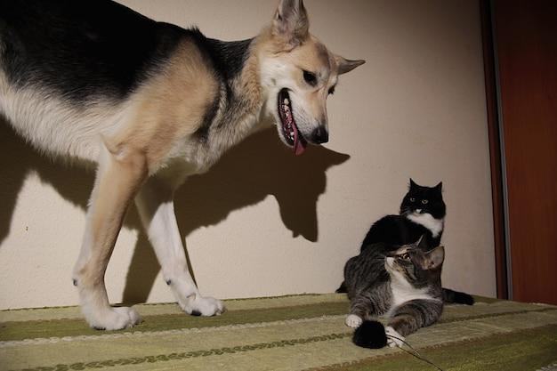 縞模様の子猫を追いかけるかわいい雑種犬をご覧ください。屋内