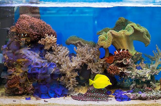 Вид на красивые зебрасомы с соленой водой аквариумных рыбок