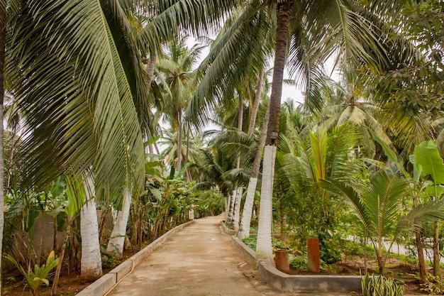 オマーンのサラーラにあるココナッツのヤシとバナナの木を見る