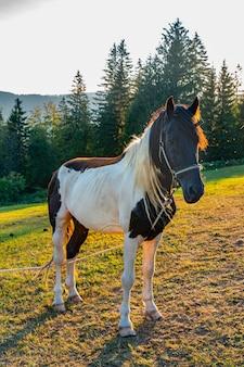 セルビアのタラ山の牧草地で馬を見る