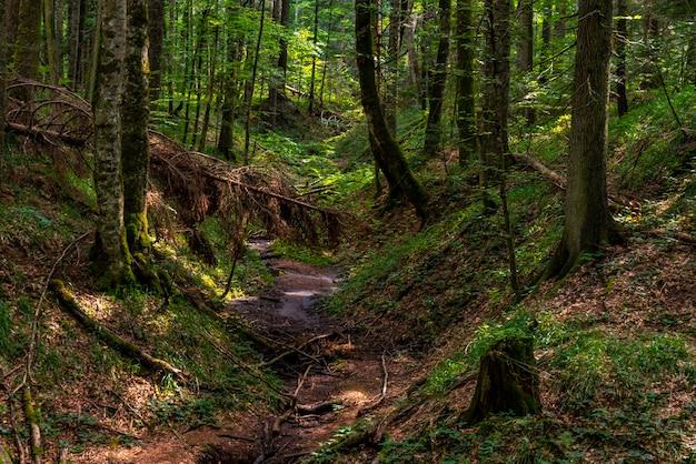 セルビアのタラ山にある泥炭ボグの森レッドクリーク(crveni potok)での眺め